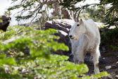 Mountain Goat Profile — Stock Photo