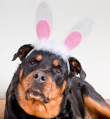 Dog With Bunny Ears — Stock Photo