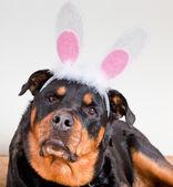 Dog With Bunny Ears — Stock Photo