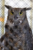 Captive Great Horned Owl — Stock Photo