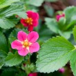 Strawberry Bloom — Stock Photo #26485379