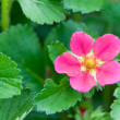 Close up of Strawberry Bloom — Stock Photo