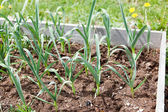 Raised Garden with Garlic — Stock Photo