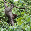 Three Toed Sloth Hanging — Stock Photo