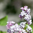 Lilac Blooms — Stock Photo