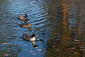 Ducks in a Row — Stock Photo