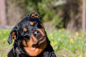 Curious Rottweiler — Stock Photo