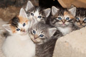 Blue Eyed Kittens — Stock Photo