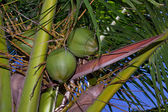 Palm Tree Nuts — Stock Photo