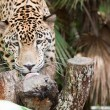 Stock Photo: Jaguar Eating a Treat