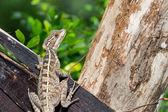 Lizard Close Up — Stock Photo