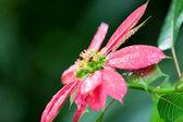 Růžové vánoční hvězda s včela — Stock fotografie