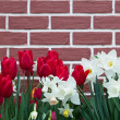 Red Tulips and White Daffodils — Stock Photo #46056471