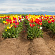 Mixed Tulips on a Farm — Stock Photo #46056549