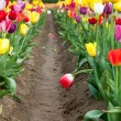Bent Tulip in a Row — Stock Photo