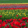 Tulips on a Farm — Stock Photo #46056895