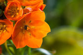 Orange Star Flower — Stock Photo