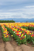 Rows of Tulips — Stock Photo