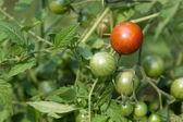 One Ripe Tomato — Stock Photo