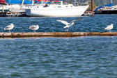 Seagulls on a Log — Stockfoto