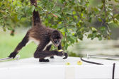 Spider Monkey with Fruit — Stock Photo