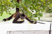 Spider Monkey Eating  — Stock Photo