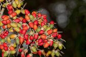 Palm Tree Berries — Stock Photo