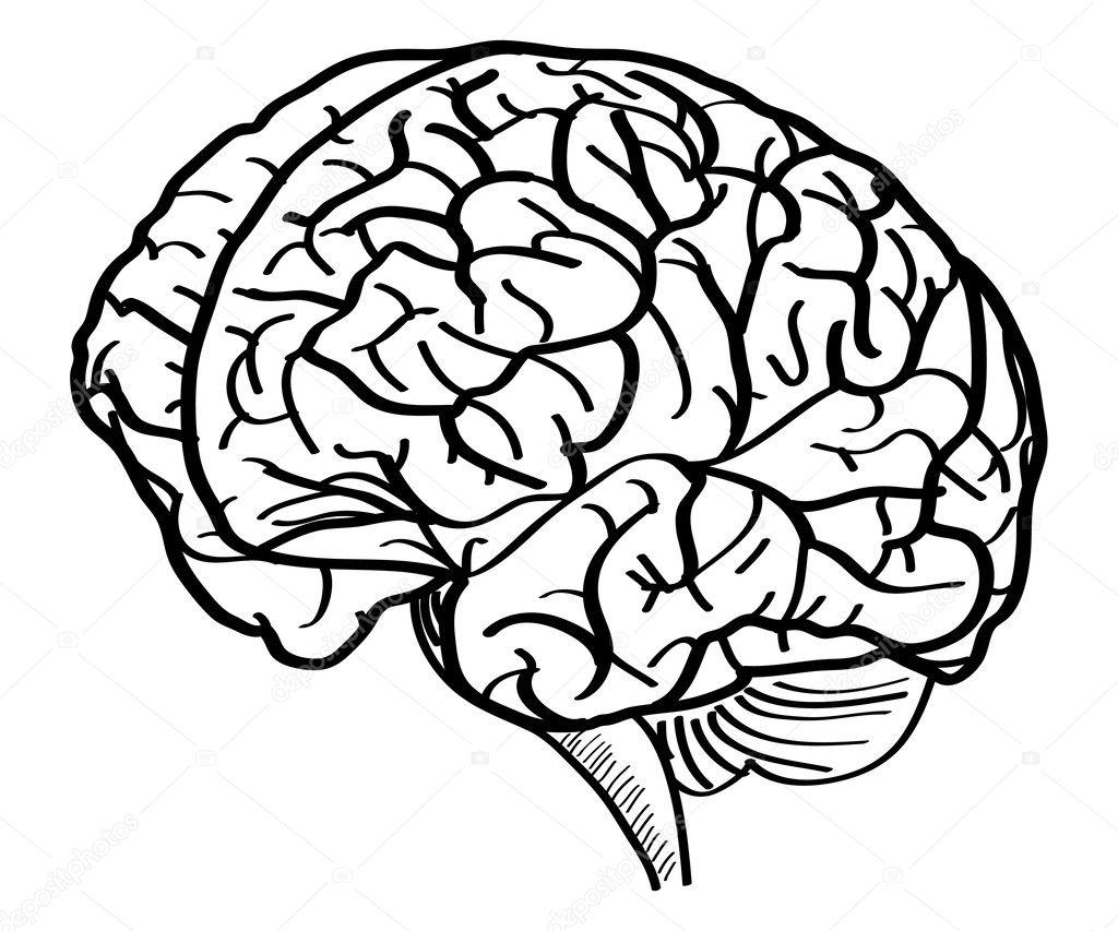 human brain vector outline sketched up  vector illustration eps 10   u2014 stock vector  u00a9 ohmega1982
