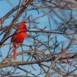 Beautiful Red Cardinal Perched in a Tree - Stock Photo