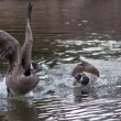 Stock Photo: Stronger goose attacking weaker contendent. Territory defense, Goose with fear and avoiding and encounter.