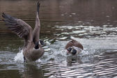 Stronger goose attacking a weaker contendent. Territory defense, Goose with fear and avoiding and encounter. — Stock Photo