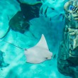 Mantaray or manta ray from above — Stock Photo