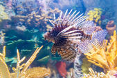 Lionfish — Fotografia Stock