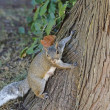 Curious cute grey squirrel - Stock Photo