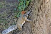 Curious cute grey squirrel — Stock Photo