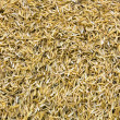 Stock Photo: Yellow Rice peel after harvest and hull