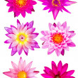Collection of pink water lily — Stock Photo #40467863