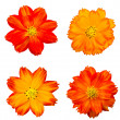 Foto de Stock  : Orange cosmos flower isolated