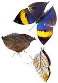 Orange oakleaf butterfly isolated — Foto de Stock