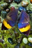 Orange oakleaf butterfly in nature — Stok fotoğraf