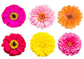 Collection of zinnia flower — Stok fotoğraf