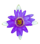 Purple and white water lily isolated — Stock Photo
