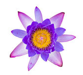 Purple and pink water lily isolated — Stock Photo