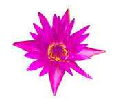 Dark pink water lily isolated — Stock Photo
