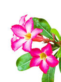 Pink Adenium flower isolated — Stockfoto