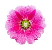 Hollyhocks flower isolated — Stock Photo
