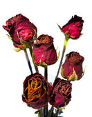 Bunch of dry red rose isolated — Foto de Stock