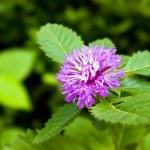 Постер, плакат: Purple Centratherum punctatum Cass flower