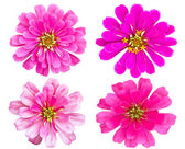 Pink Zinnia flower collection isolated — Stock Photo