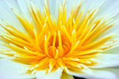 Close up of yellow water lily — Stock Photo